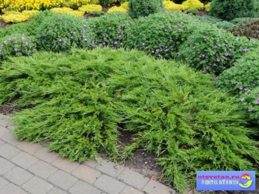 хвойные растения для сада можжевельник