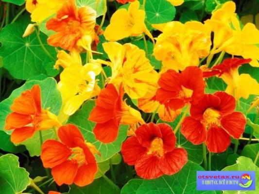 неприхотливые цветы для клумб