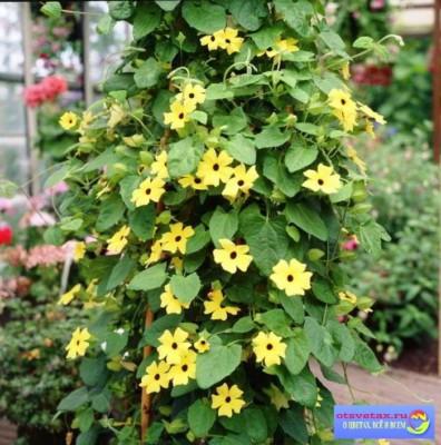 Nasturtsiya Вьющиеся растения для забора быстрорастущие