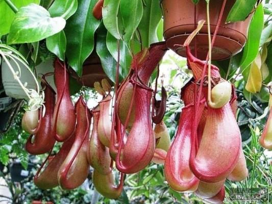хищные растения непентес