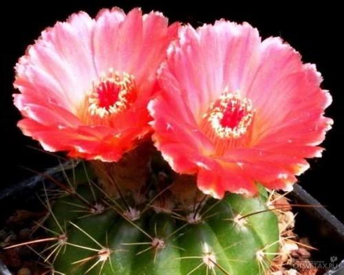 виды кактусов с фото и названиями