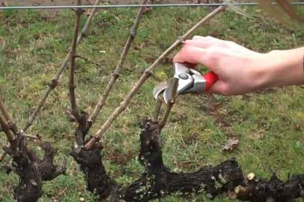 Обрезка винограда весной старые кусты