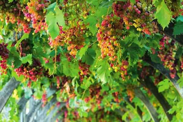 Обрезка винограда весной на арке
