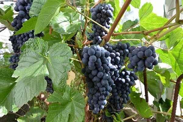Обрезка винограда весной для начинающих