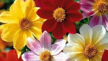 Георгины однолетние: посадка рассадой, семенами в открытый грунт, тонкости ухода