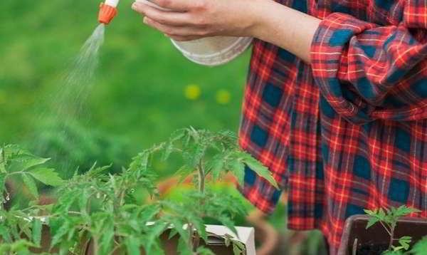 уход за рассадой помидор борной кислотой
