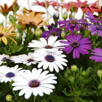 Остеоспермум выращивание из семян в домашних условиях как и когда сеять