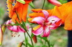 Когда лучше пересаживать лилии весной или осенью