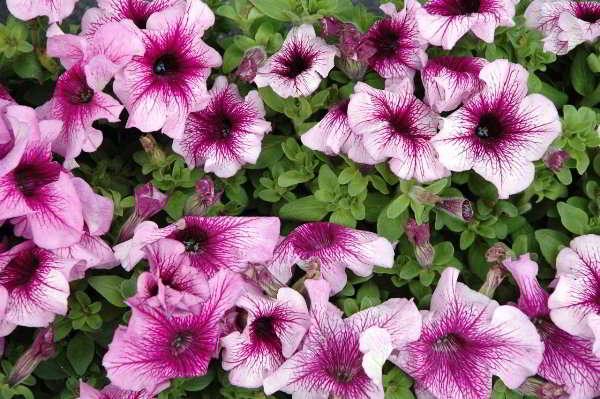 сорта петунии фото с названиями большие цветы