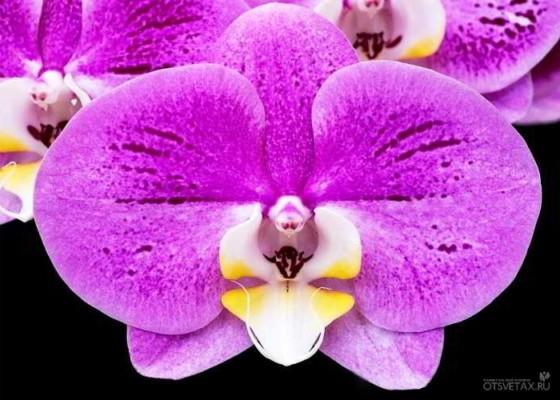 орхидея фаленопсис уход в домашних условиях полив