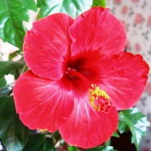 """Гибискус """"цветок смерти"""" – почему его так называют, народные приметы"""