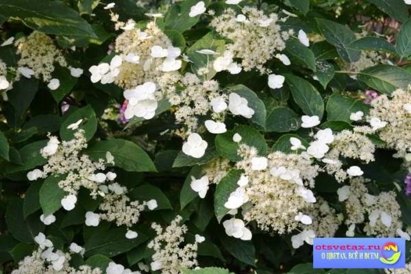гортензия садовая посадка и уход в открытом грунте болезни