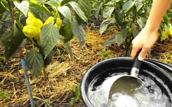 подкормка перца в открытом грунте