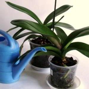 Как правильно поливать орхидеи для роста и цветения