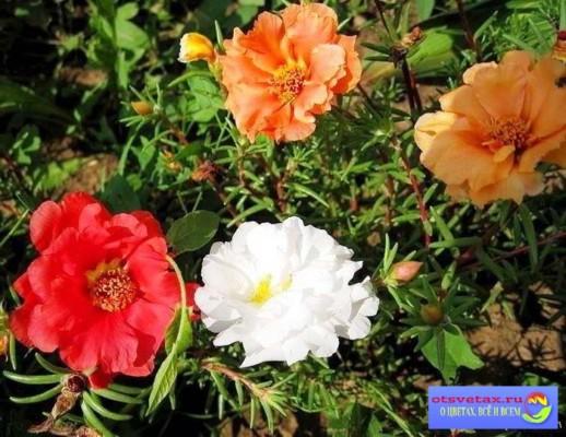 однолетние цветы для клумбы неприхотливые