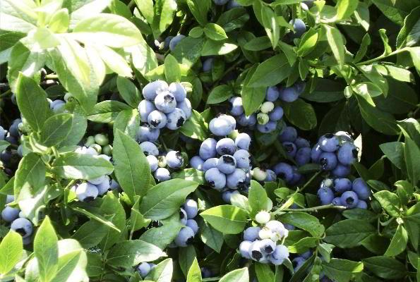голубика садовая фото