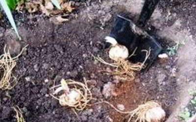 Посадка лилий осенью когда и как посадить, сроки, технология, уход