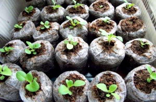 выращивание семян обриеты в торфяных горшках
