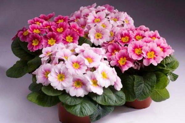 комнатные цветущие цветы фото и названия по алфавиту