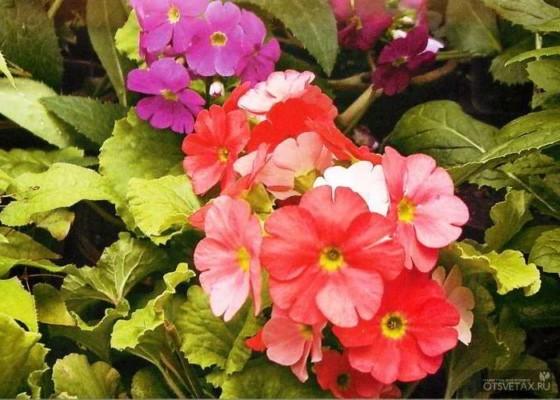 цветы примула посадка и уход фото