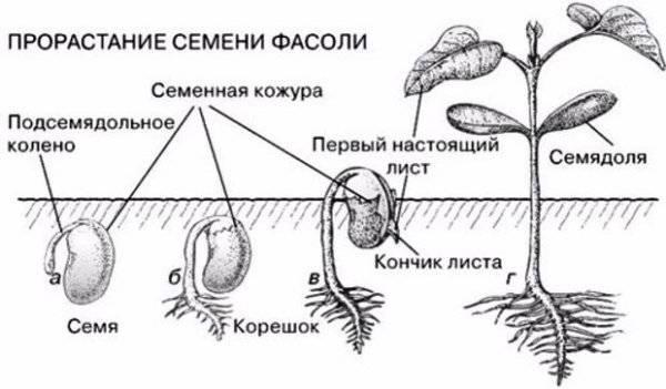 схема прорастание семян фасоли