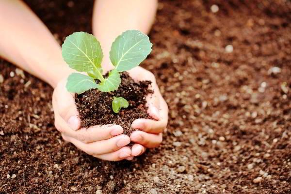 капуста выращивание и уход