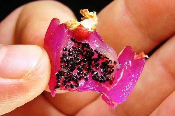 размножение декабриста семенами в домашних условиях