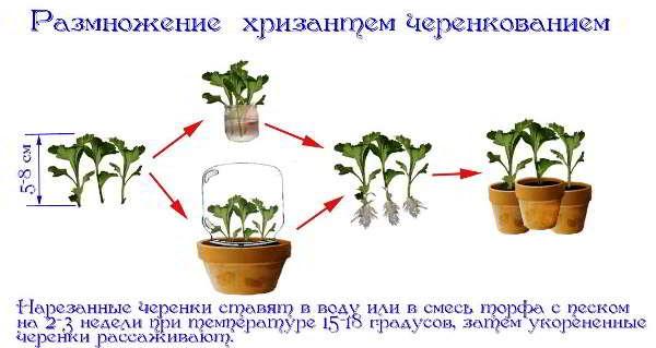 размножение хризантем черенками осенью