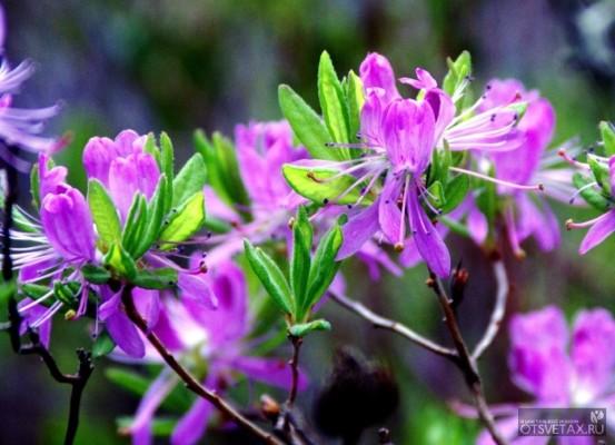 рододендрон садовый посадка и уход фото размножение