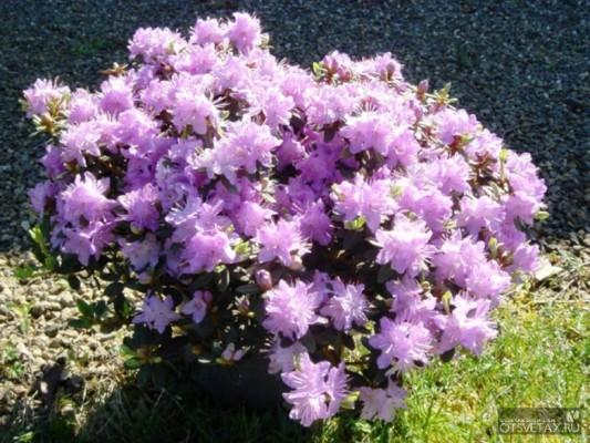 рододендрон садовый посадка и уход фото лечебные свойства