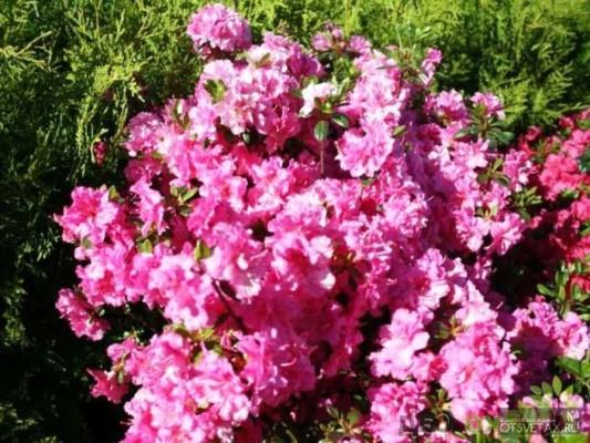 рододендрон садовый посадка и уход фото где купить