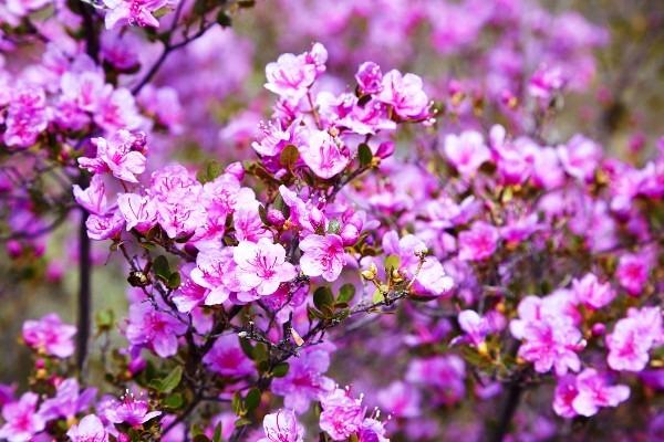 многолетние садовые кустарники цветущие
