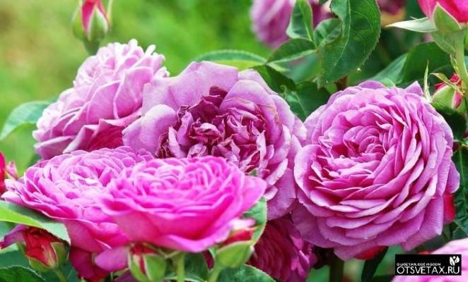 плетистые розы цветущие все лето сорта зимостойкие цветы
