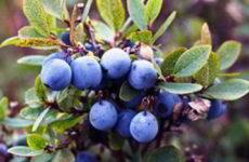 Голубика садовая фото посадка и уход в открытом грунте
