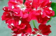 """Садовая пеларгония в фотоконкурсе """"Цветы в моём доме"""""""