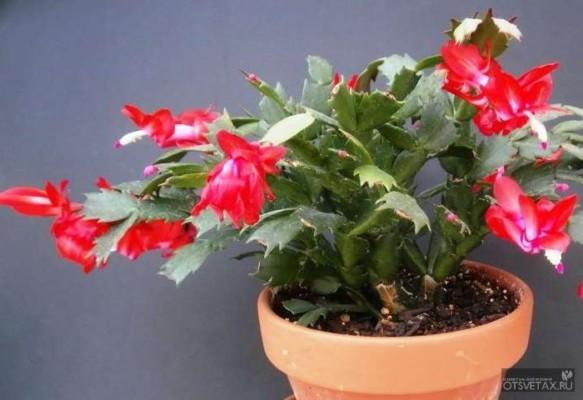 декабрист цветок уход в домашних условиях болезни