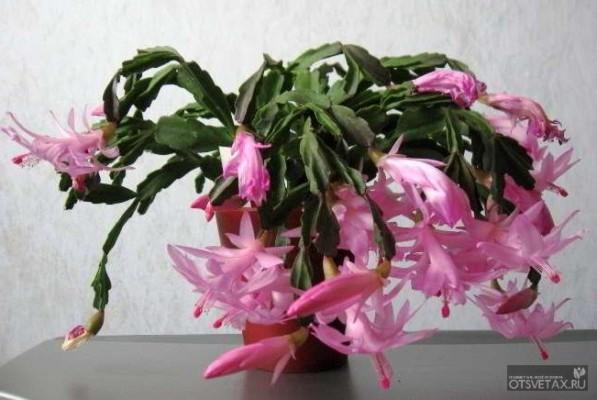 декабрист цветок уход в домашних условиях форум