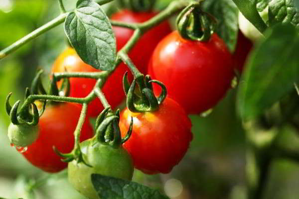 помидоры для теплицы из поликарбоната сорта