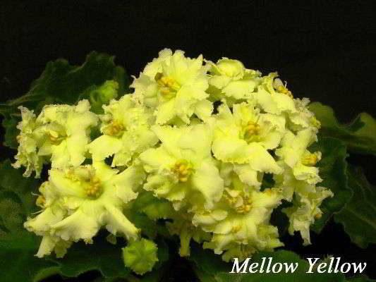 Сенполия название сорта Mellow Yellow