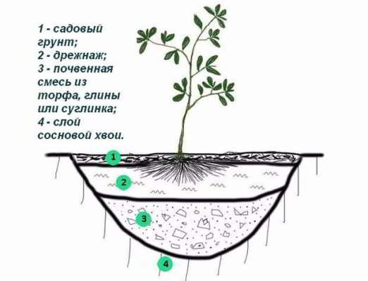 Схема посадки азалии садовой