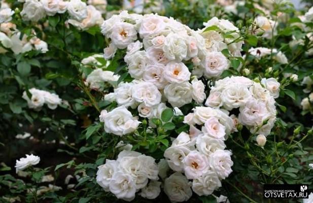 плетистые розы цветущие все лето сорта зимостойкие купить