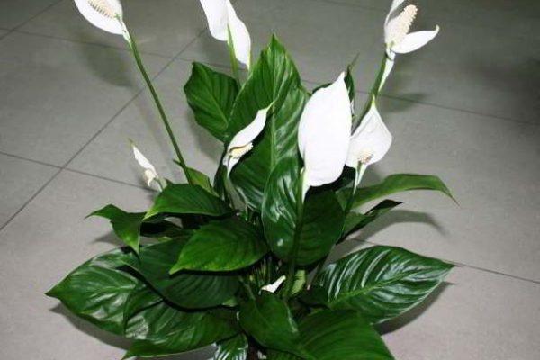 какие самые неприхотливые цветущие комнатные растения фото и названия