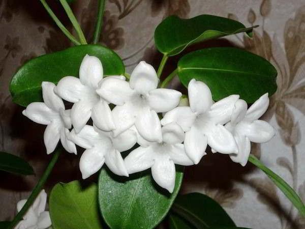 цветущие тенелюбивые комнатные растения названия и фото