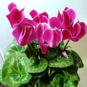 Цикламен: уход в домашних условиях, нюансы и рекомендации по выращиванию