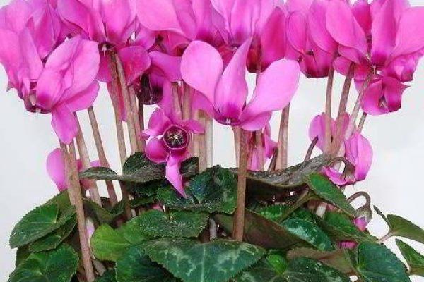цветущие комнатные растения фото и названия энциклопедия