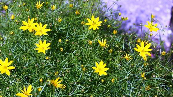 цветок кореопсис многолетний