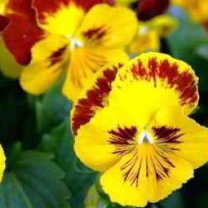 Как вырастить цветы виола из семян на рассаду