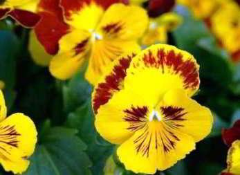 Цветы виола выращивание из семян