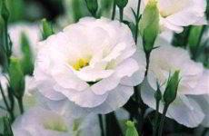 Как вырастить цветок эустома из семян в домашних условиях