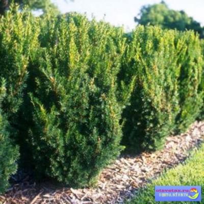 хвойные растения для сада фото и названия тис